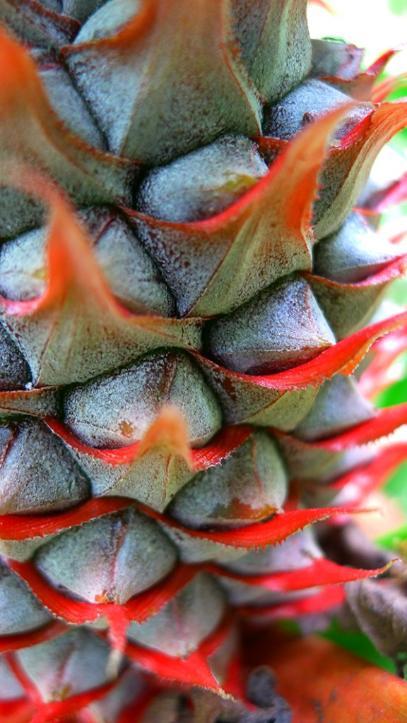 A close-up of a young pineapple