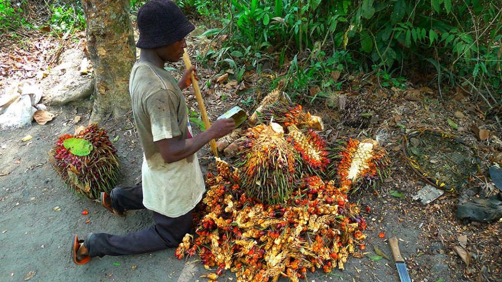 Cutting fruits from palm bunches