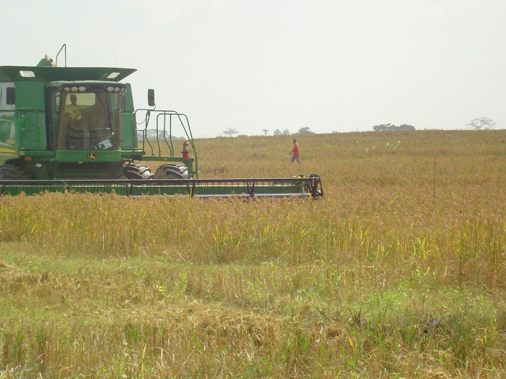 Combine harvester in rice field