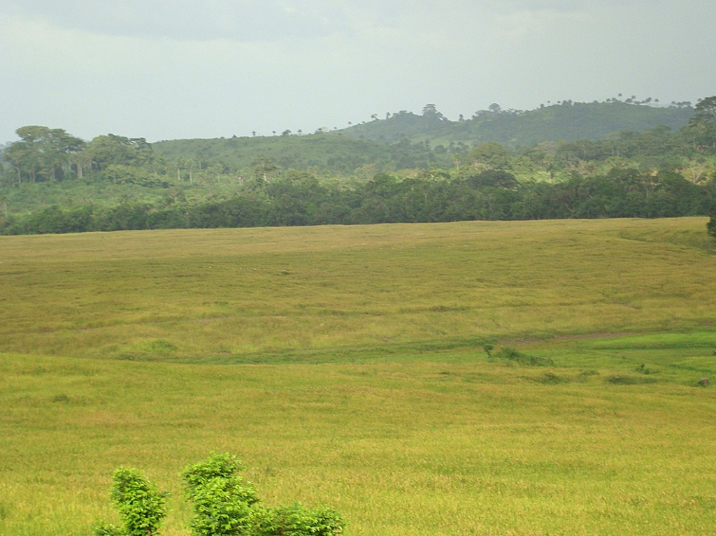 Field of rice in Liberia