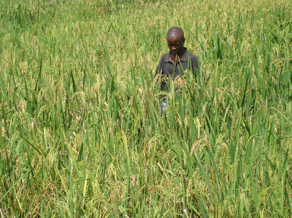 Agriculture technician in rice field