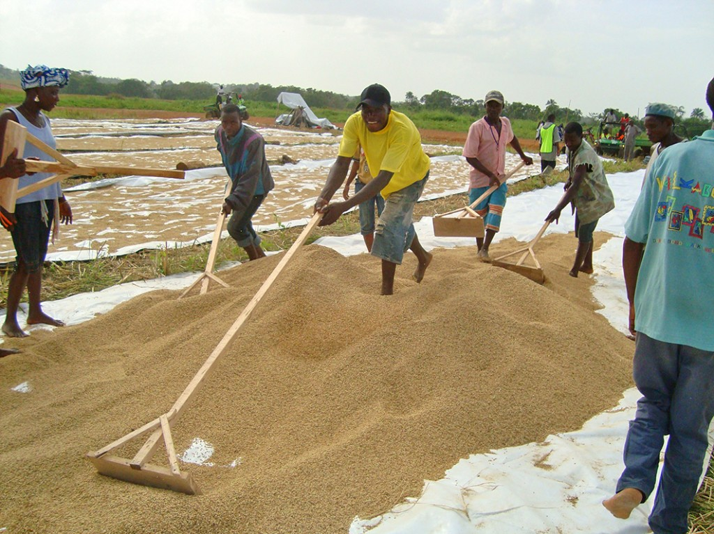 Workers spreading rice on drying boards